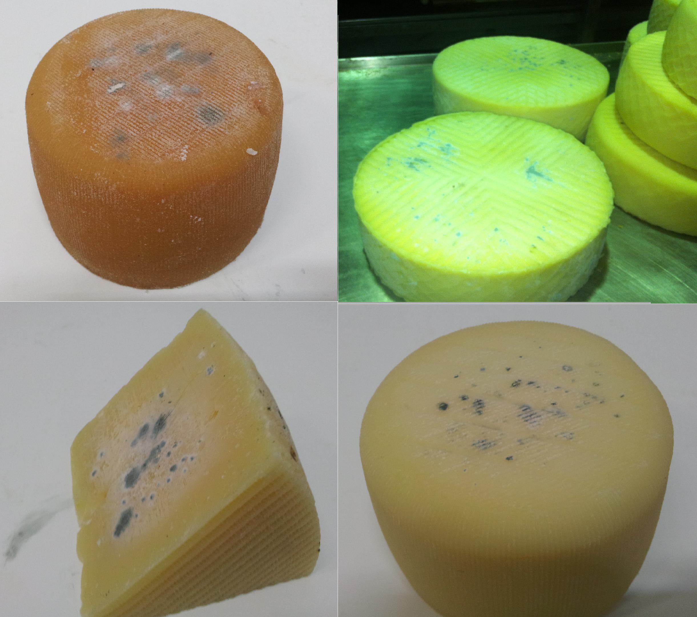 El moho amigo del queso enemigo del consumidor queso y - El moho es un hongo ...